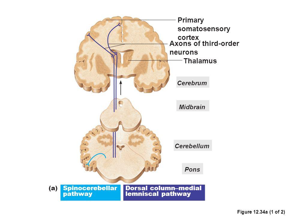 Primary somatosensory cortex Axons of third-order neurons Thalamus