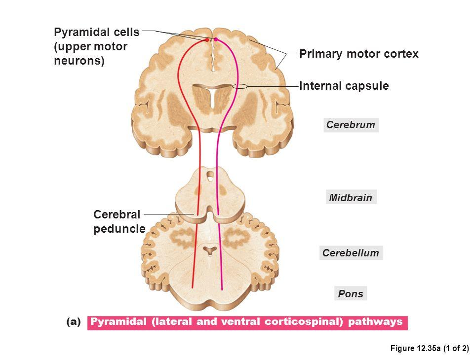 Pyramidal cells (upper motor neurons) Primary motor cortex