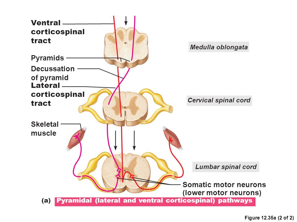 Ventral corticospinal tract Pyramids Decussation of pyramid Lateral