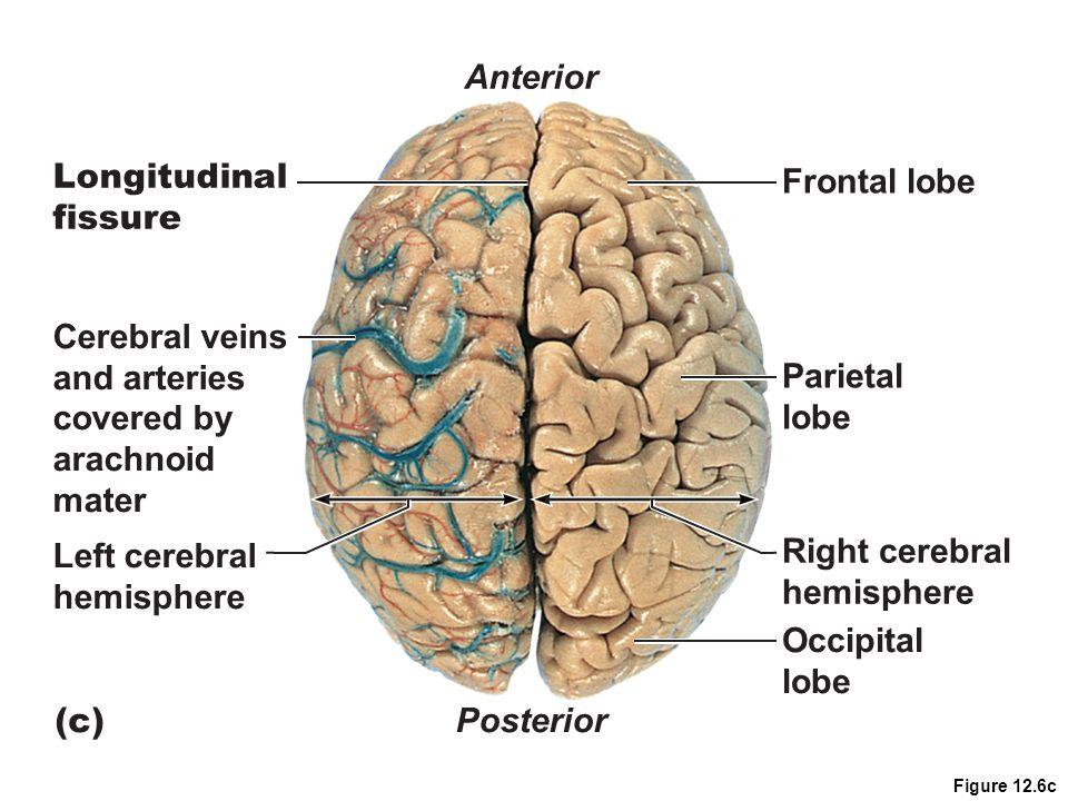 Anterior Longitudinal Frontal lobe fissure Cerebral veins and arteries