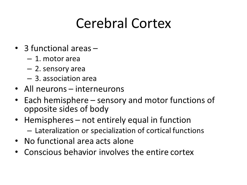 Cerebral Cortex 3 functional areas – All neurons – interneurons