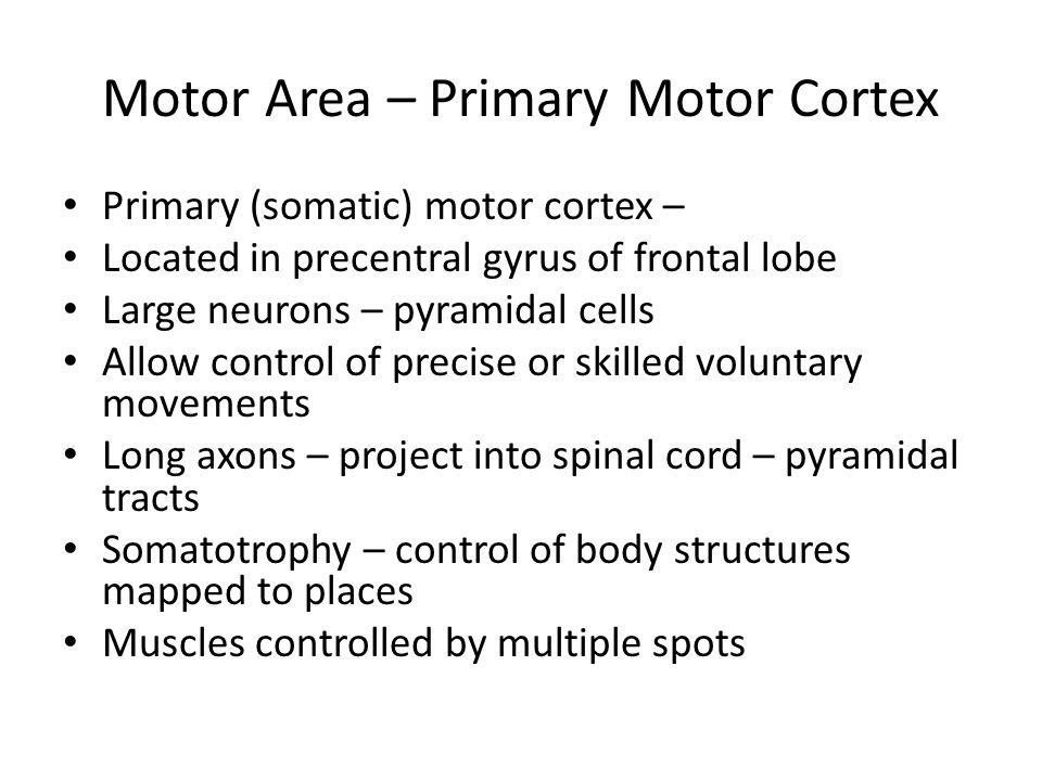 Motor Area – Primary Motor Cortex