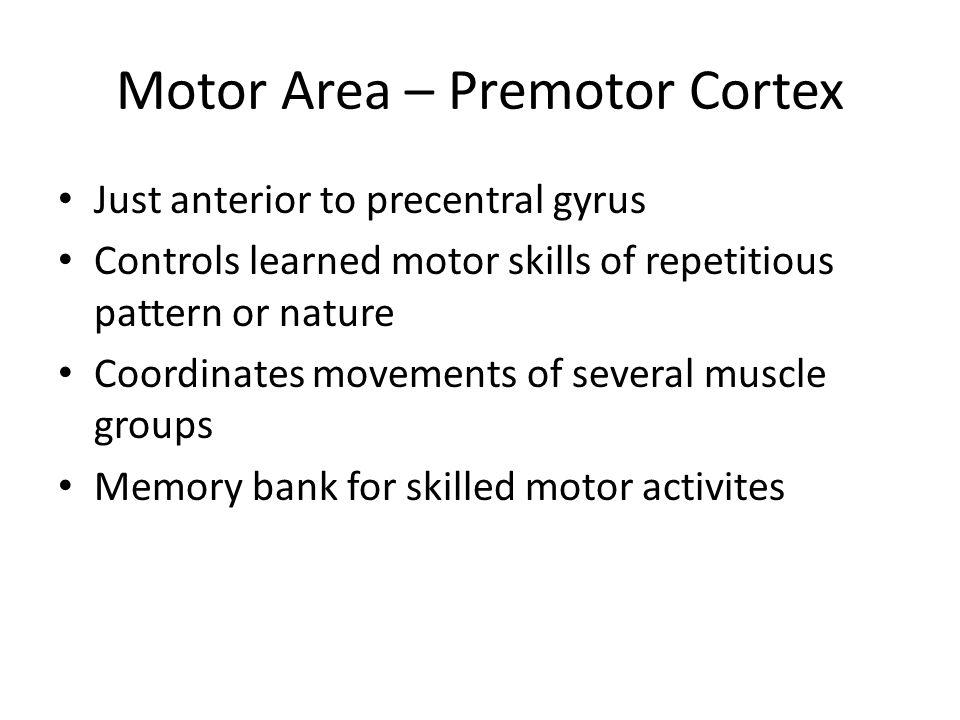 Motor Area – Premotor Cortex