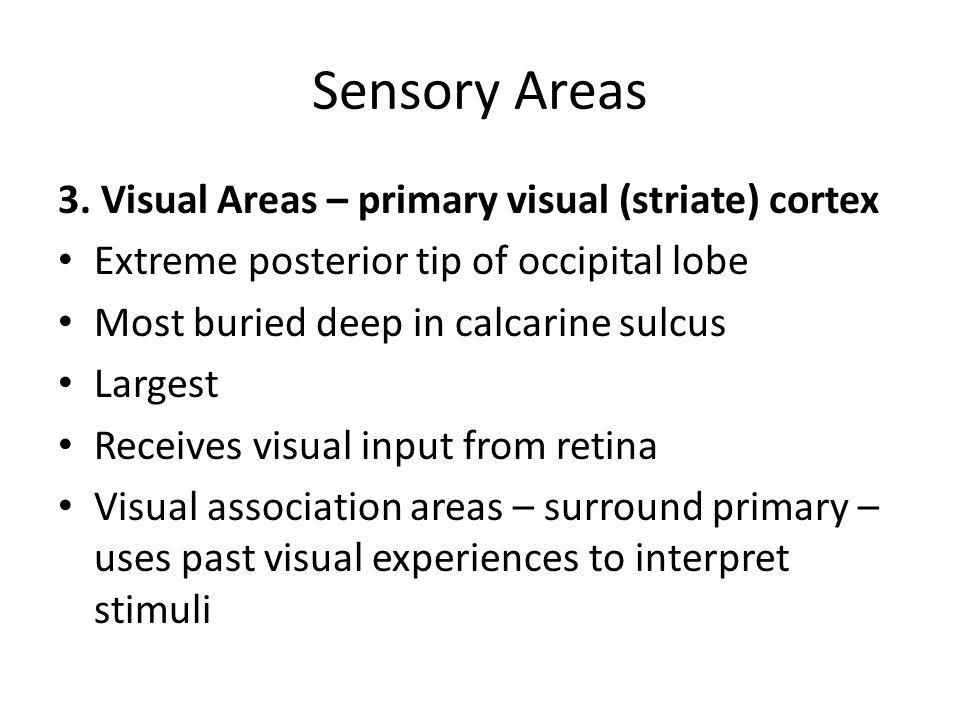 Sensory Areas 3. Visual Areas – primary visual (striate) cortex