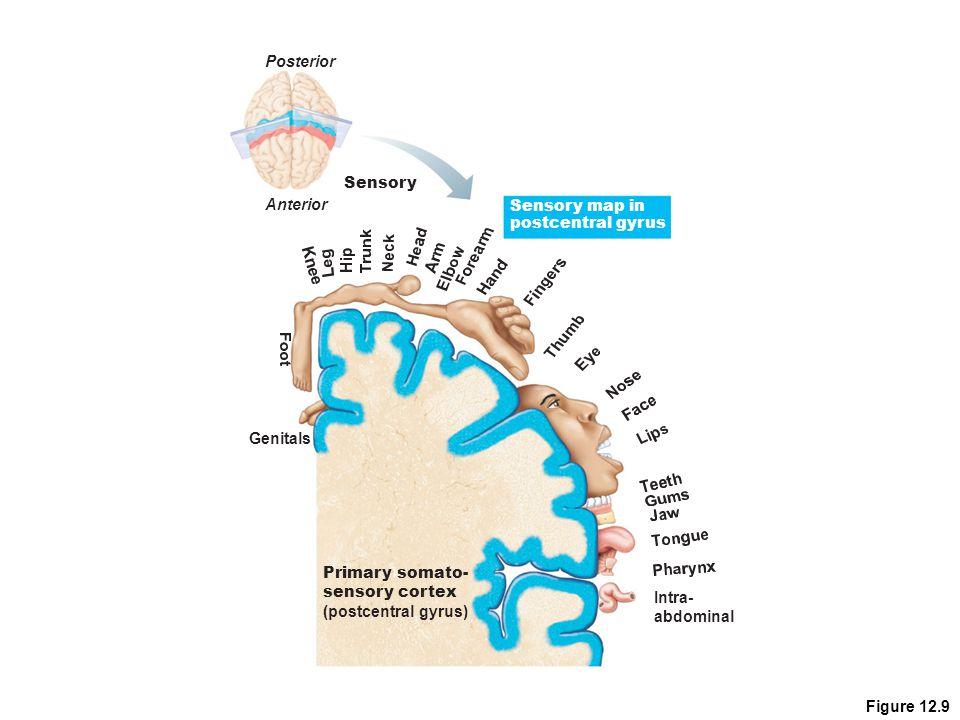 Posterior Sensory. Anterior. Sensory map in. postcentral gyrus. Genitals. Primary somato- sensory cortex.