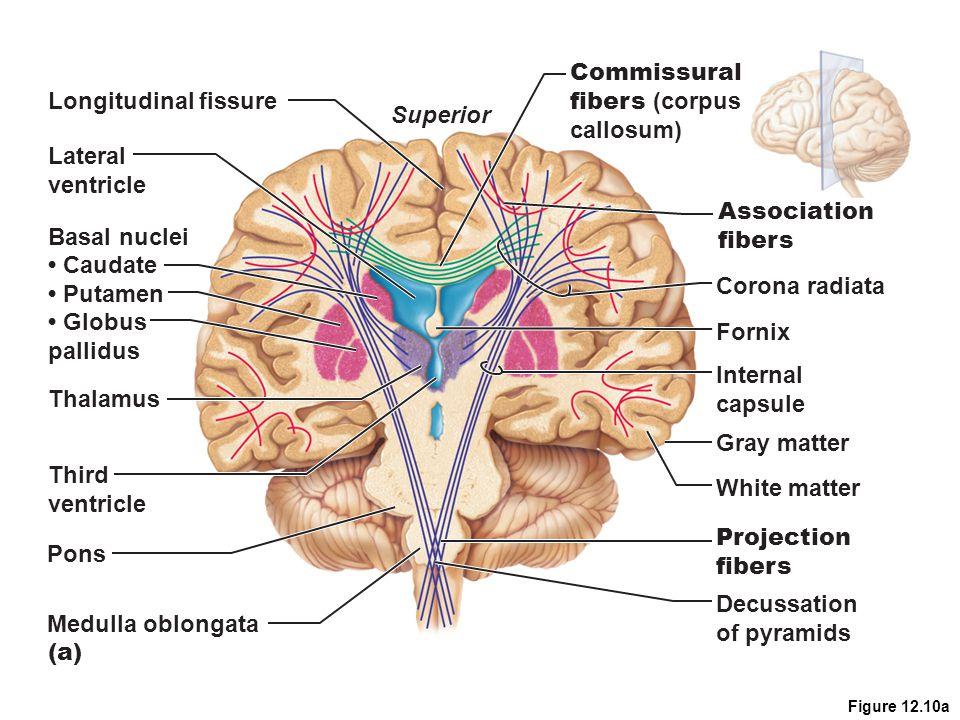 Commissural fibers (corpus Longitudinal fissure callosum) Superior