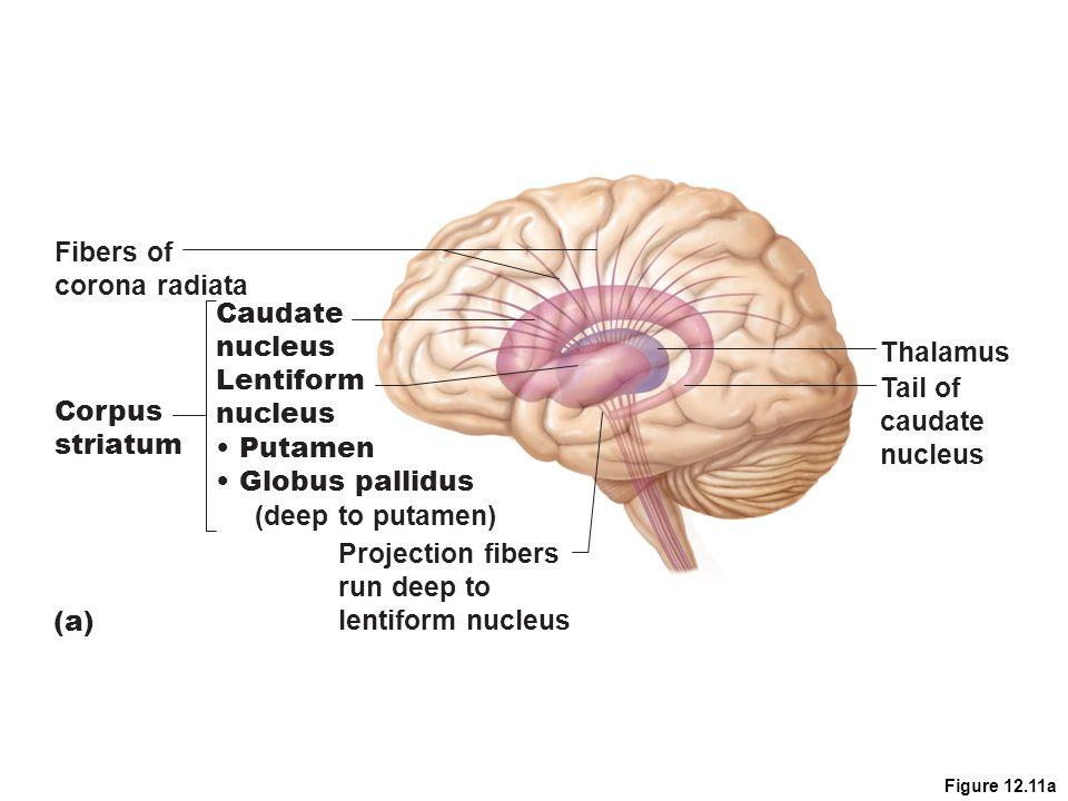 Fibers of corona radiata Caudate nucleus Thalamus Lentiform Tail of
