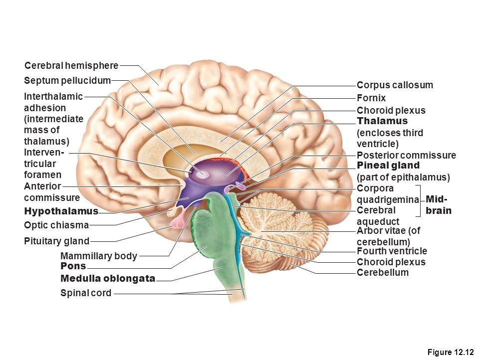 Cerebral hemisphere Septum pellucidum Corpus callosum Interthalamic