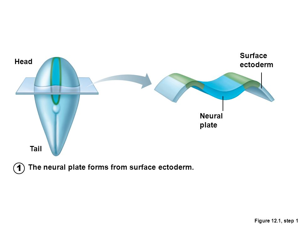 1 Surface ectoderm Head Neural plate Tail