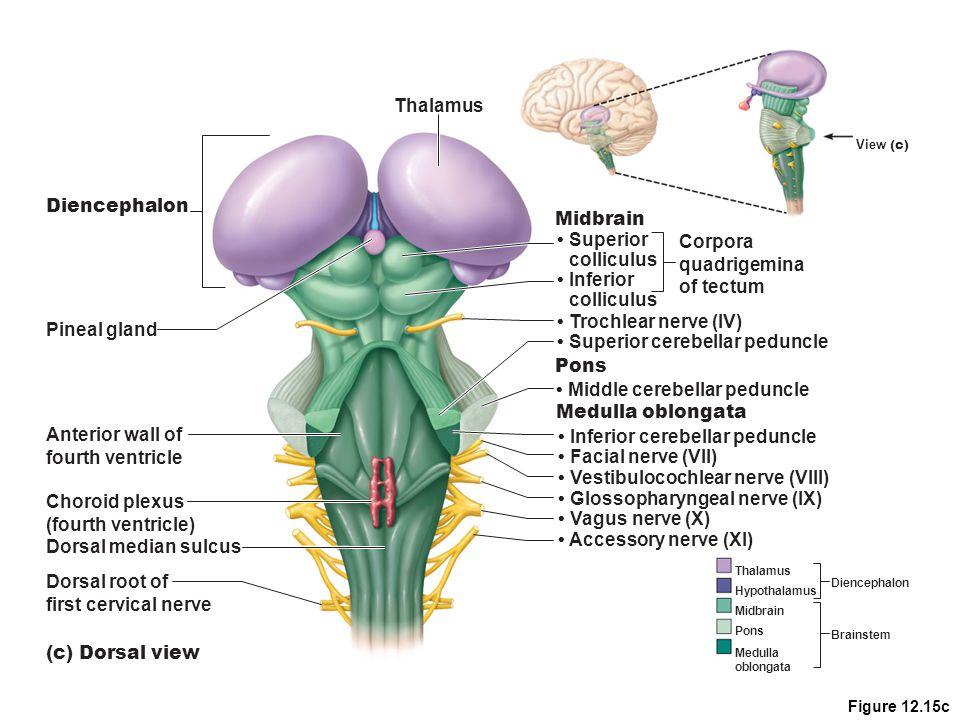 • Superior cerebellar peduncle Pons • Middle cerebellar peduncle