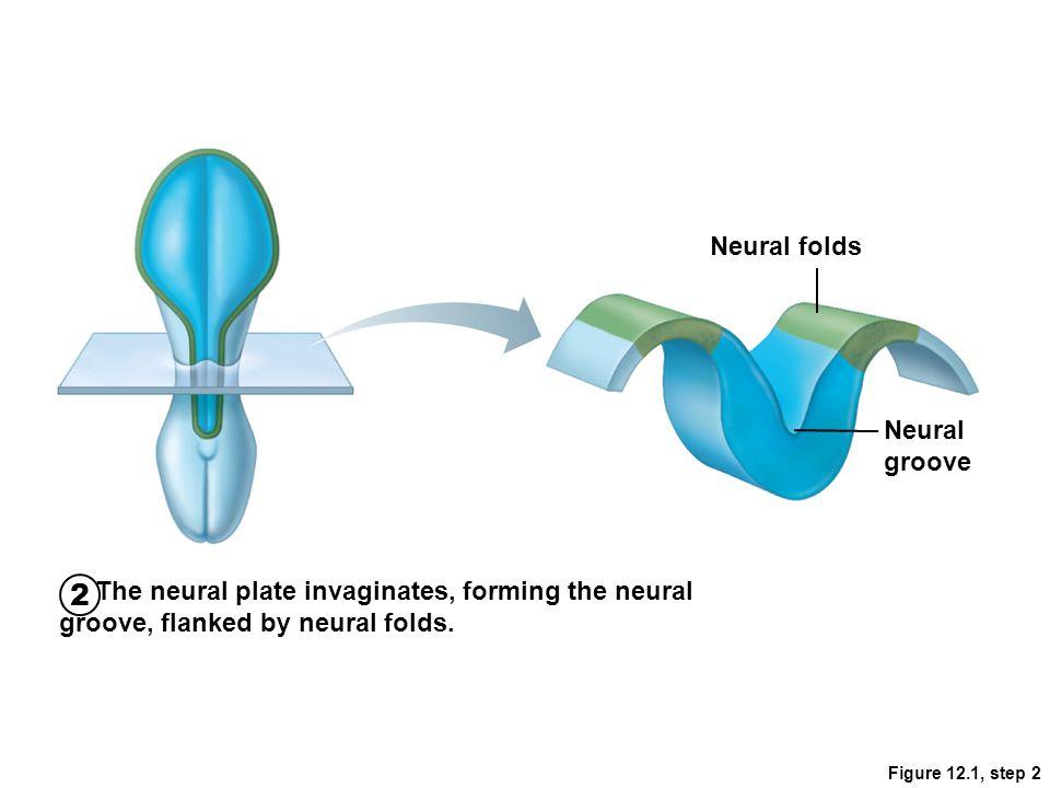 2 Neural folds Neural groove