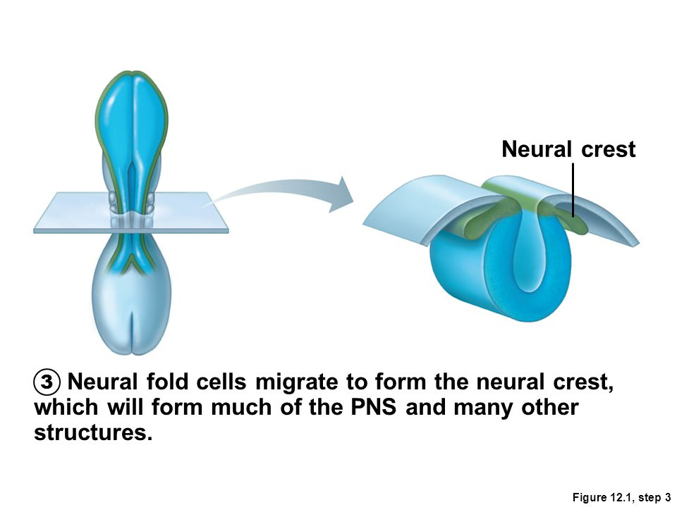 Neural crest 3. Neural fold cells migrate to form the neural crest, which will form much of the PNS and many other structures.