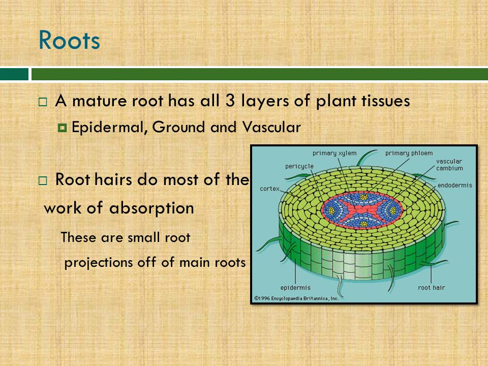 Roots A mature root has all 3 layers of plant tissues