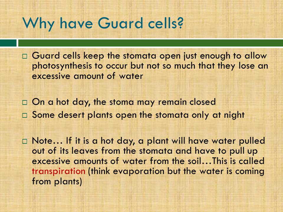 Why have Guard cells