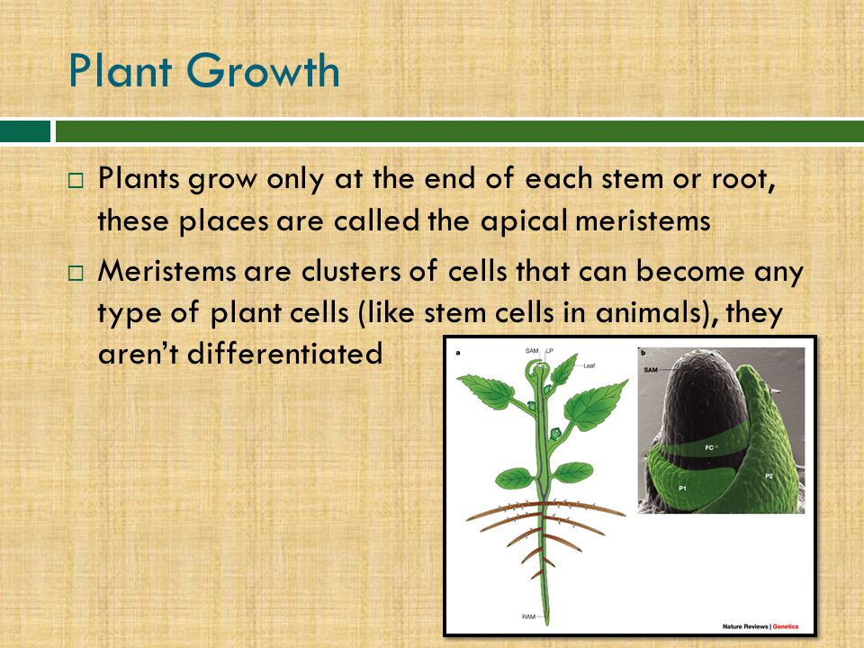 Plant Growth Plants grow only at the end of each stem or root, these places are called the apical meristems.