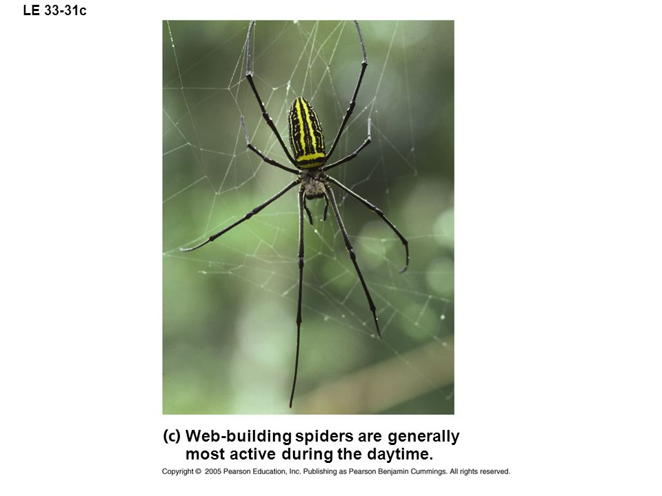 Web-building spiders are generally most active during the daytime.