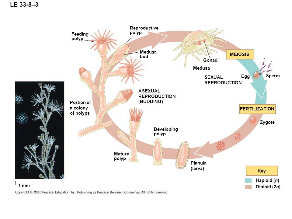 LE 33-8–3 Reproductive polyp Feeding polyp Medusa bud MEIOSIS Gonad