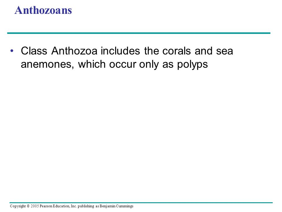 Anthozoans Class Anthozoa includes the corals and sea anemones, which occur only as polyps