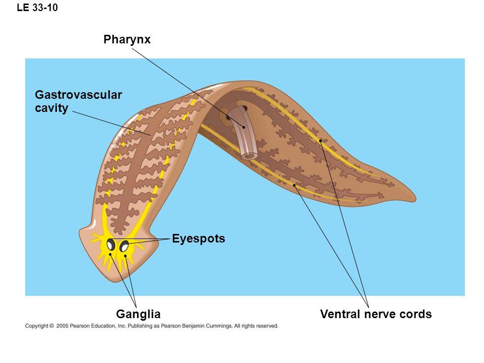 Pharynx Gastrovascular cavity Eyespots Ganglia Ventral nerve cords