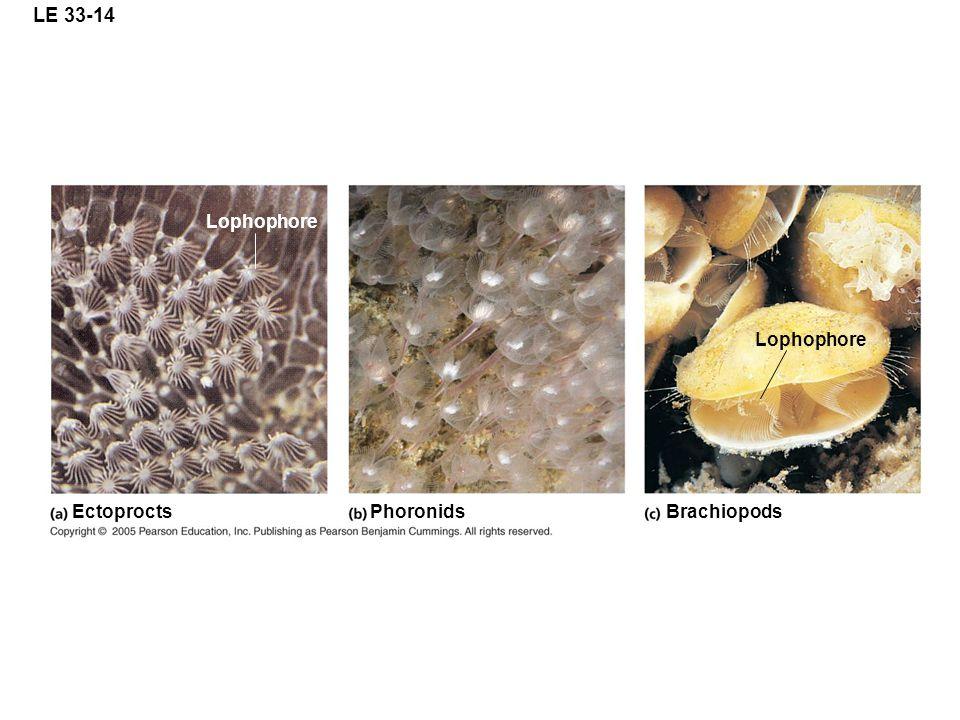 LE 33-14 Lophophore Lophophore Ectoprocts Phoronids Brachiopods