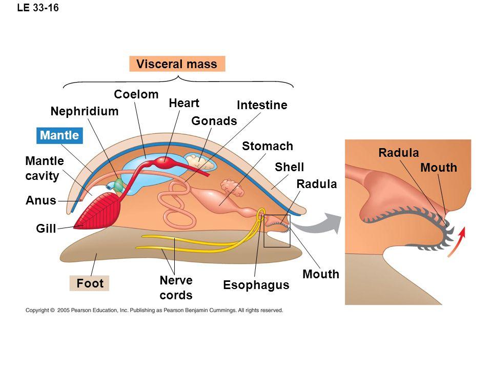 Visceral mass Coelom Heart Intestine Nephridium Gonads Mantle Stomach