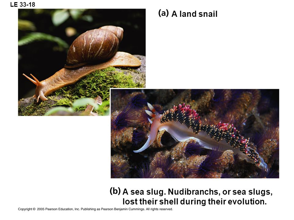 A sea slug. Nudibranchs, or sea slugs,
