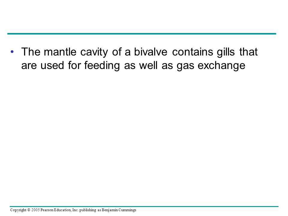 The mantle cavity of a bivalve contains gills that are used for feeding as well as gas exchange