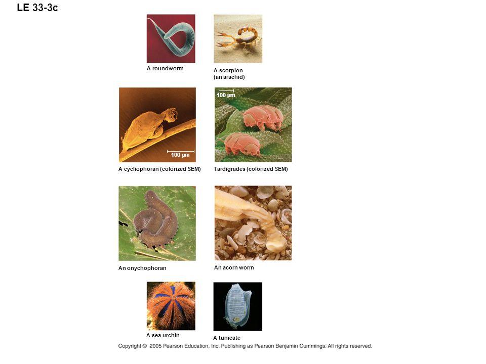 LE 33-3c A roundworm A scorpion (an arachid) 100 µm 100 µm
