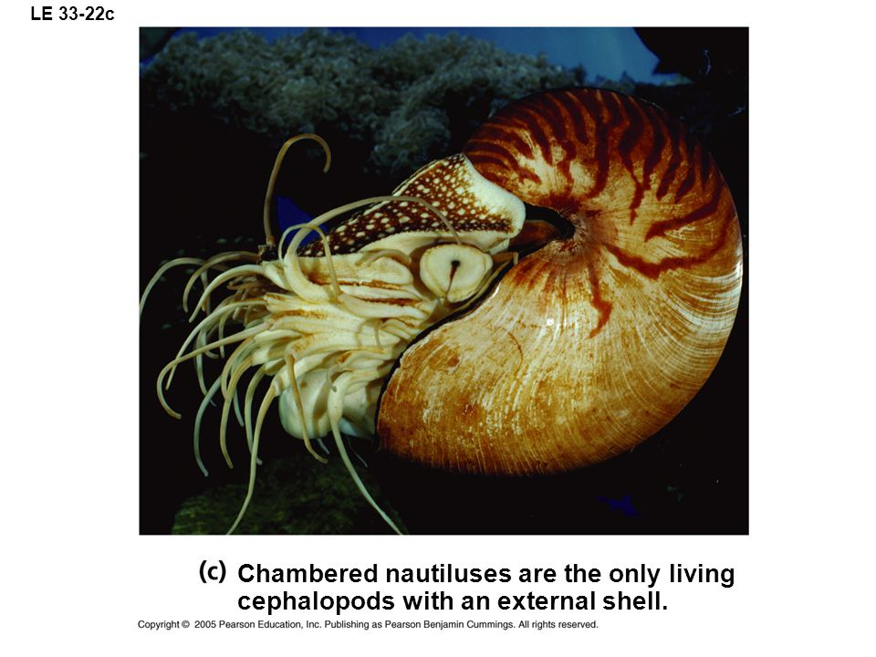 LE 33-22c Chambered nautiluses are the only living cephalopods with an external shell.