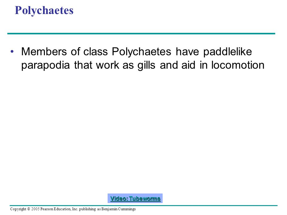 Polychaetes Members of class Polychaetes have paddlelike parapodia that work as gills and aid in locomotion.