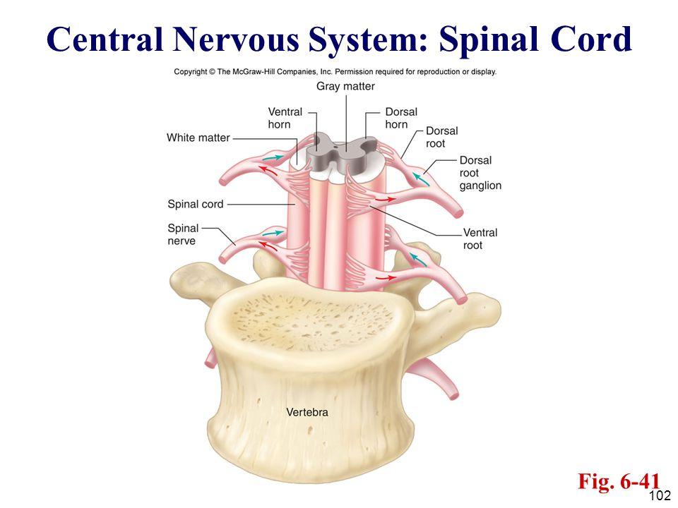 Central Nervous System: Spinal Cord