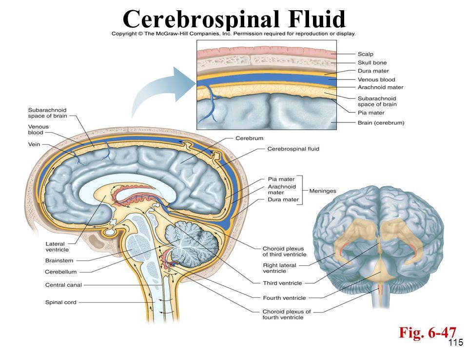Cerebrospinal Fluid Fig. 6-47