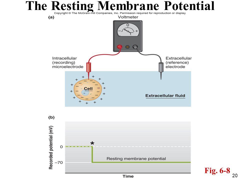 The Resting Membrane Potential