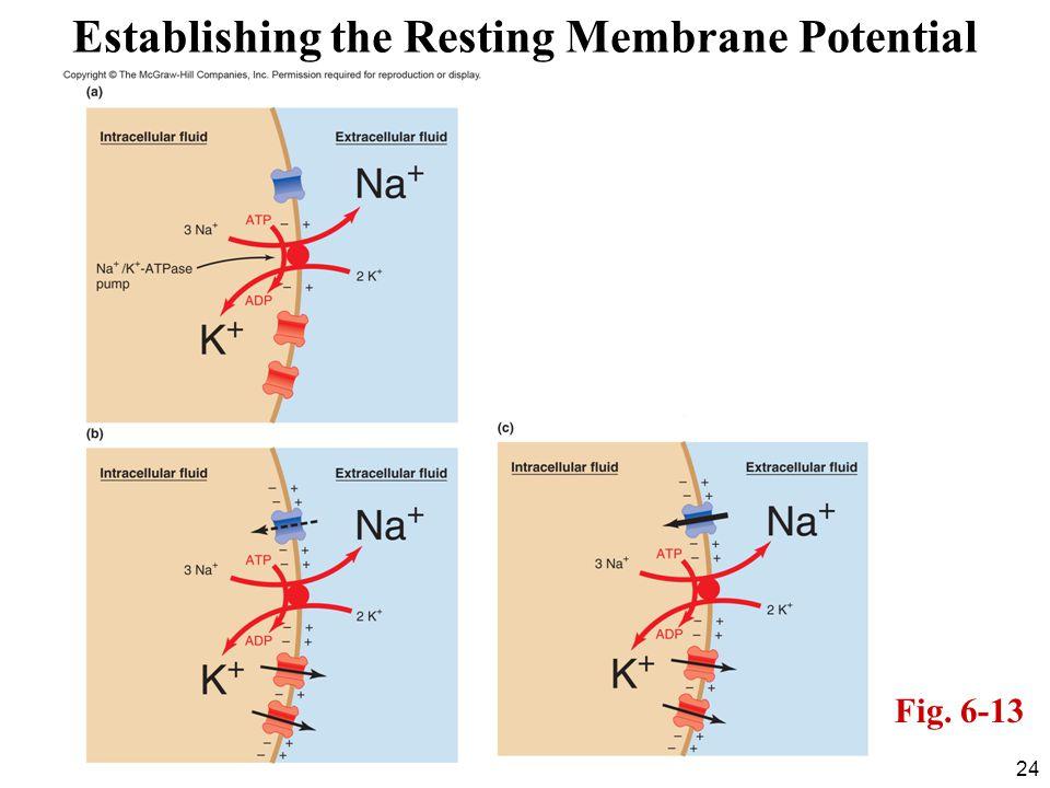 Establishing the Resting Membrane Potential