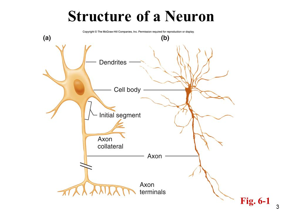 Structure of a Neuron Fig. 6-1
