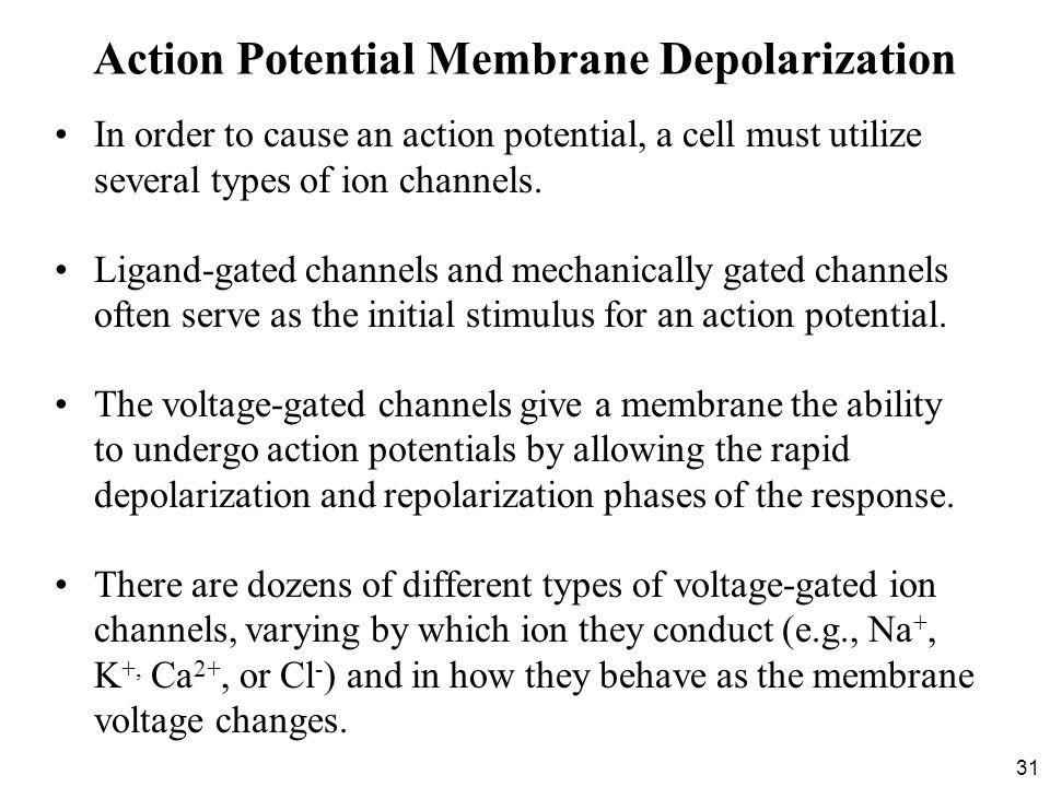 Action Potential Membrane Depolarization