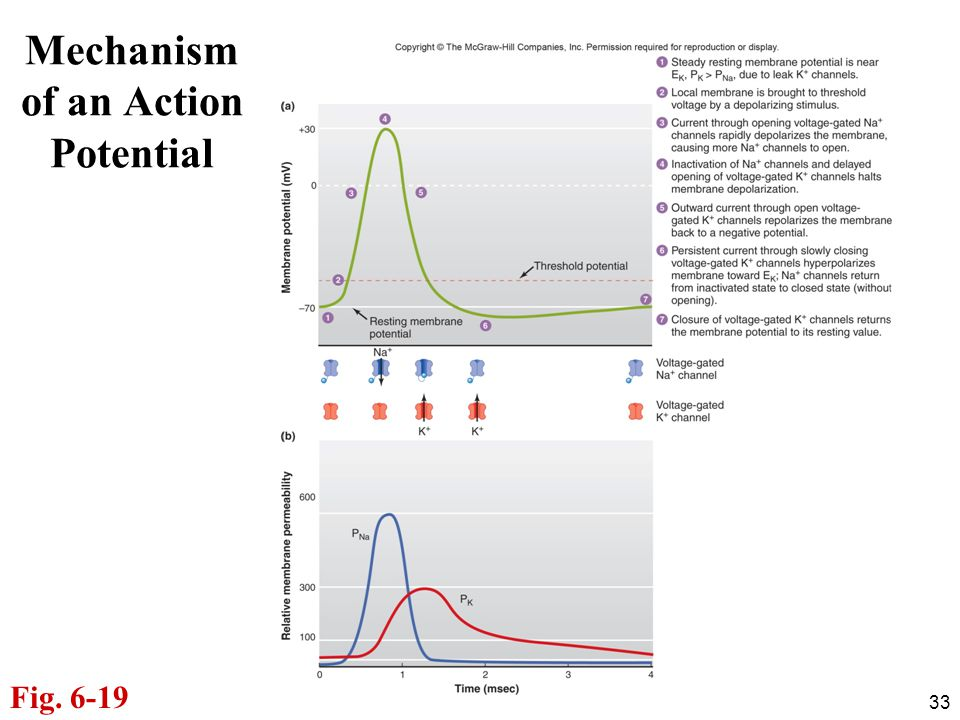 Mechanism of an Action Potential