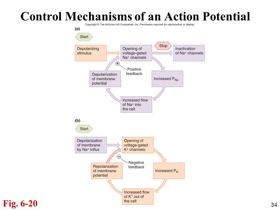 Control Mechanisms of an Action Potential
