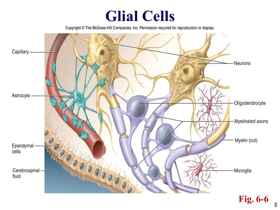 Glial Cells Fig. 6-6