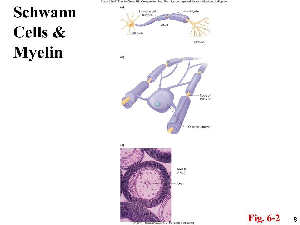 Schwann Cells & Myelin Fig. 6-2