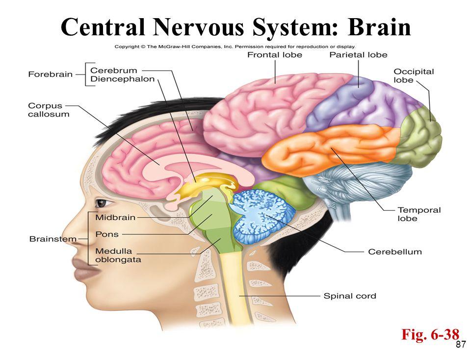 Central Nervous System: Brain