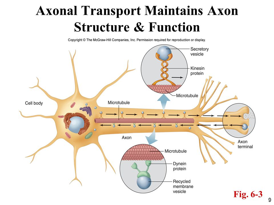 Axonal Transport Maintains Axon Structure & Function