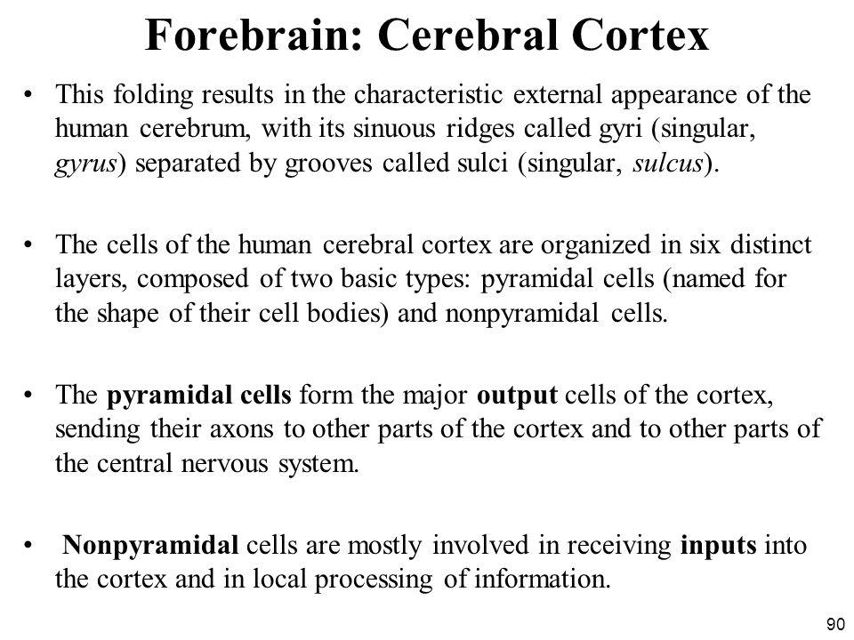 Forebrain: Cerebral Cortex