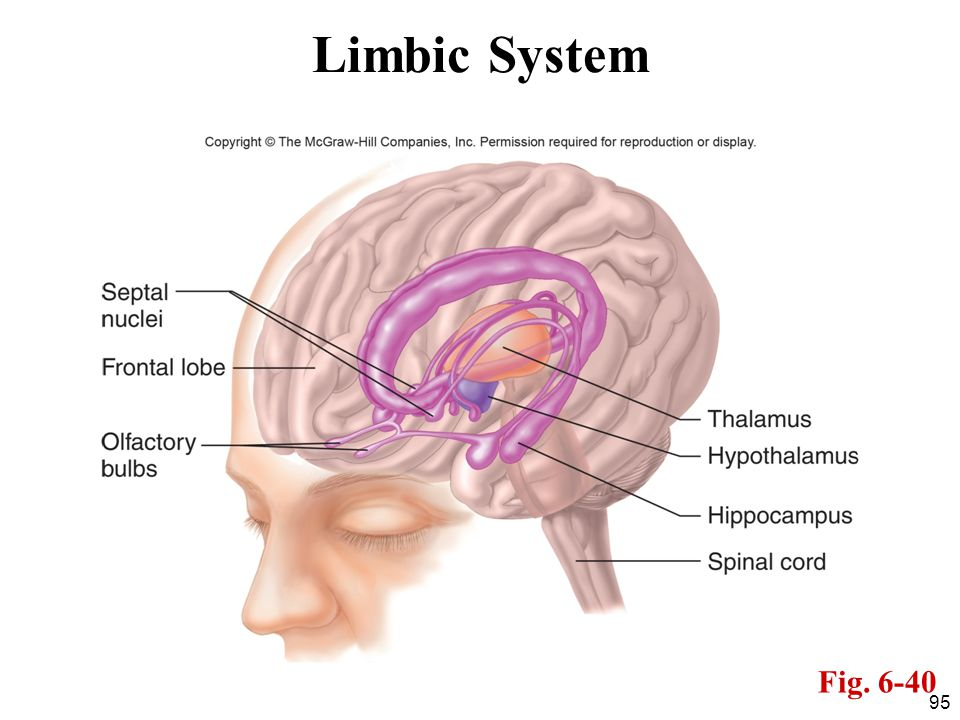 Limbic System Fig. 6-40