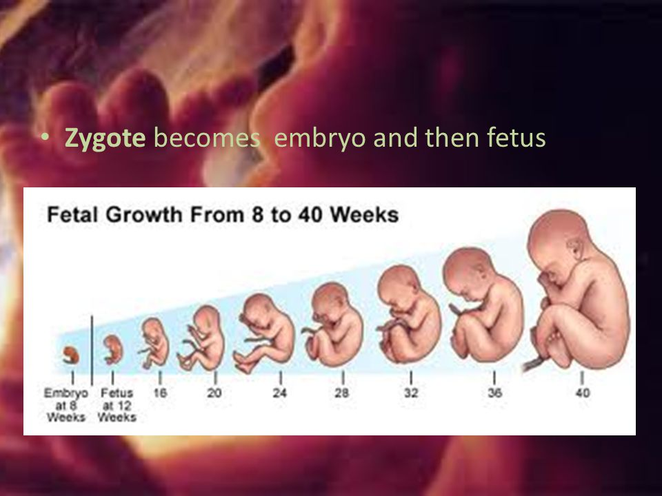 Zygote becomes embryo and then fetus