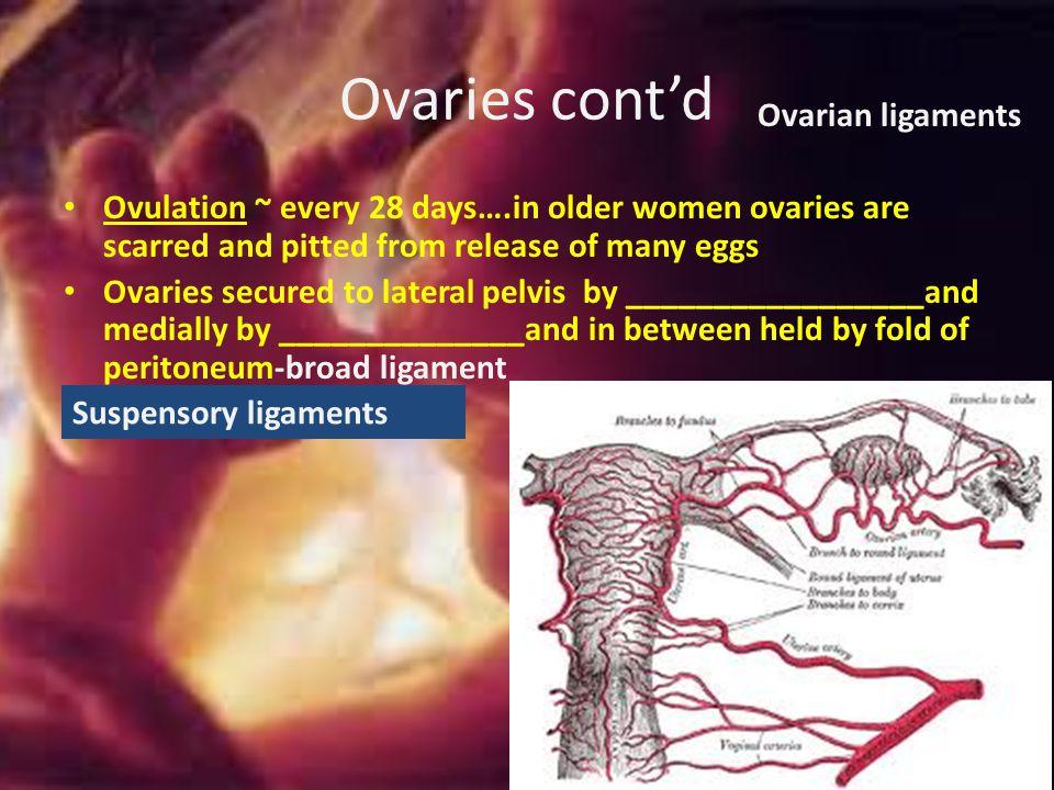 Ovaries cont'd Ovarian ligaments