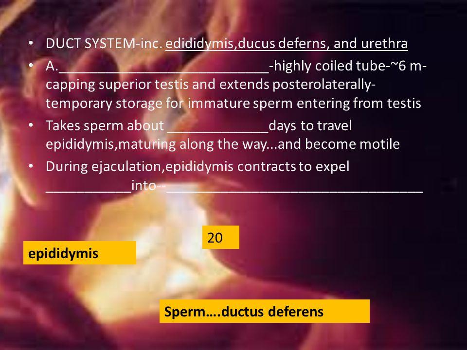 DUCT SYSTEM-inc. edididymis,ducus deferns, and urethra