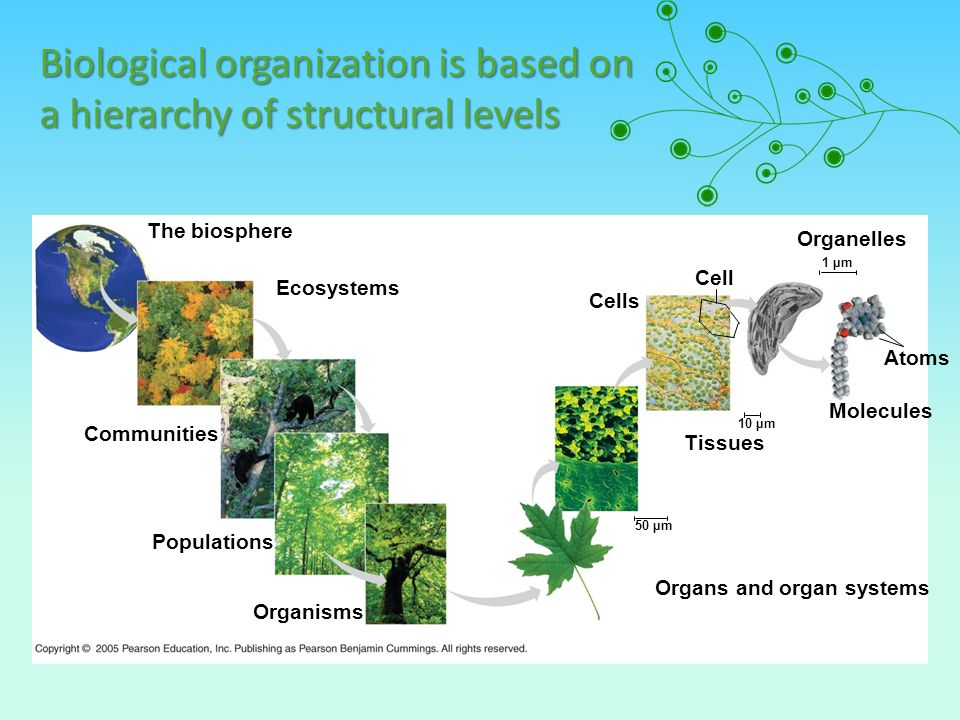 Biological organization is based on a hierarchy of structural levels