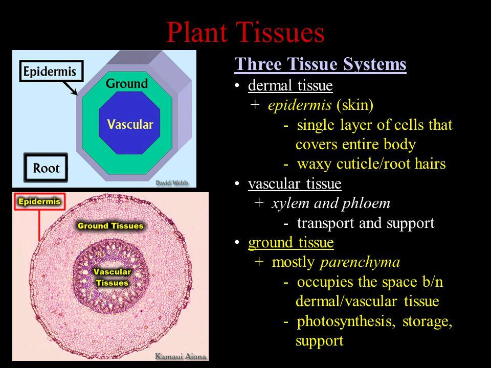 Plant Tissues Three Tissue Systems dermal tissue + epidermis (skin)