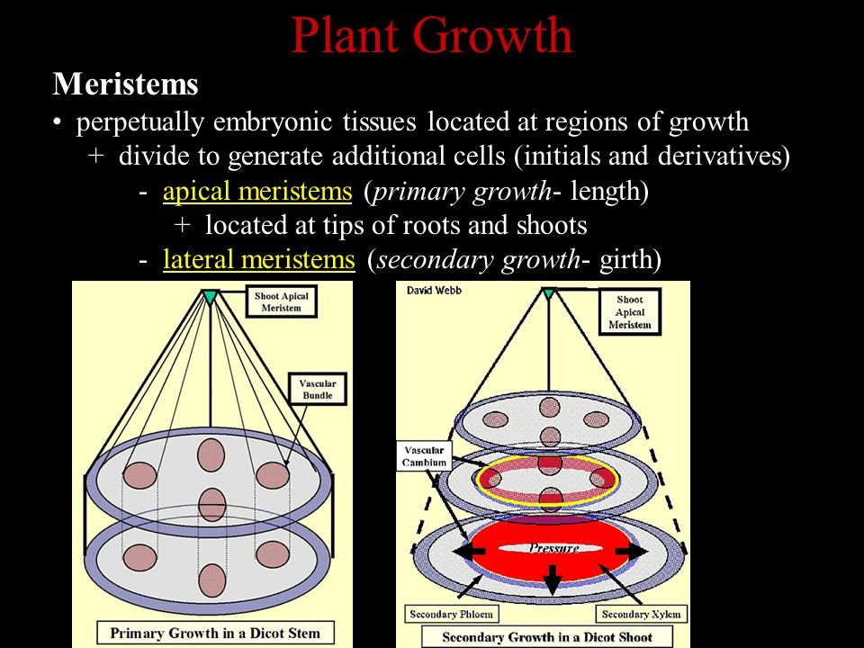 Plant Growth Meristems
